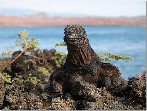 Iguane des Galapaos