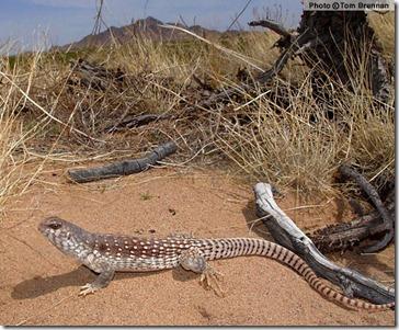 Les iguanes du désert sont très répandus aux Etats-Unis et au Mexique