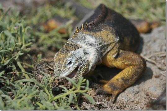 L'alimentation de votre iguane doit rester végétarienne - Photo : stirwise