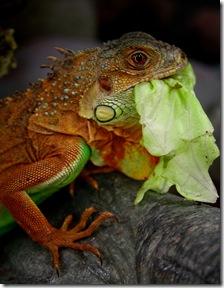 Arrosez la nourriture de votre iguane pour aider à son hydratation - Photo : amandacphoto