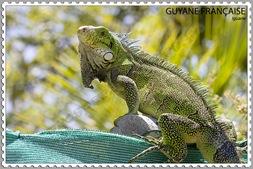Iguane de la Guyane française - Photo de Prosper973