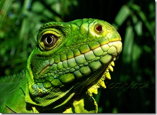 Iguane des Antilles - Photo : Muscapix