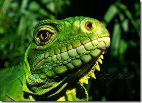 Iguane des Antilles - Photo de Muscapix