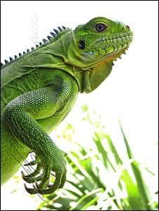 Iguane des Antilles - Photo de muscapix
