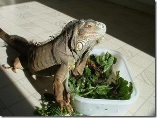 Alimentation de votre iguane : Laissez votre reptile domestique se dorer au soleil aussi souvent que possible, pour une bonne assimilation du calcium par son organisme - Photo : Arcadiareptiles
