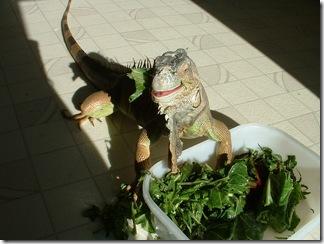 La Nourriture pour Iguane : Quelle alimentation choisir pour son iguane vert domestique ? Photo : Arcadiareptiles