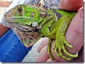 Un Iguane d'Hiram - Photo : fablav