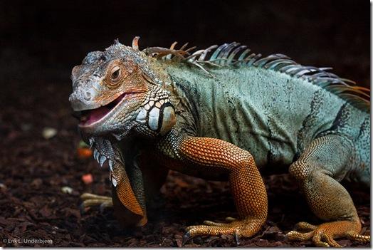 Un iguane marchant