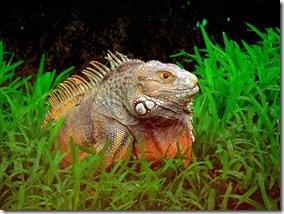 Iguane - Photo de Pandiyan