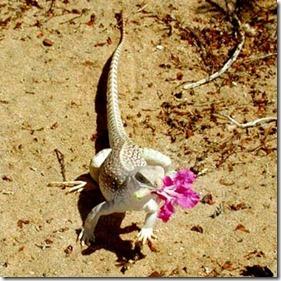 L'iguane du désert est friand de fleurs !